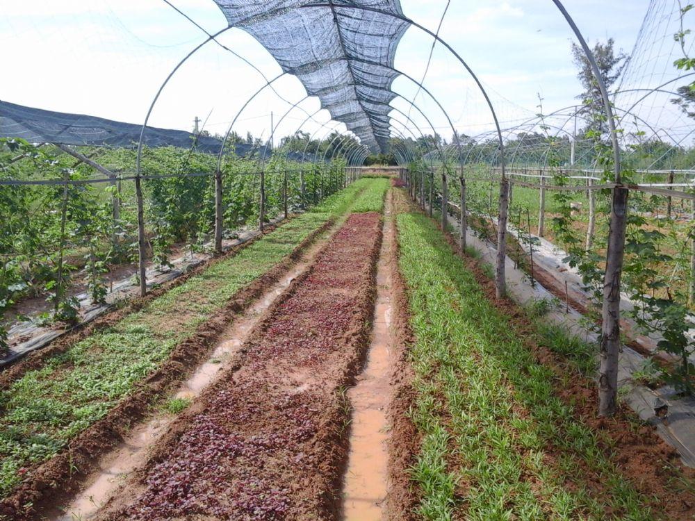 Hình ảnh vườn trồng Xen canh