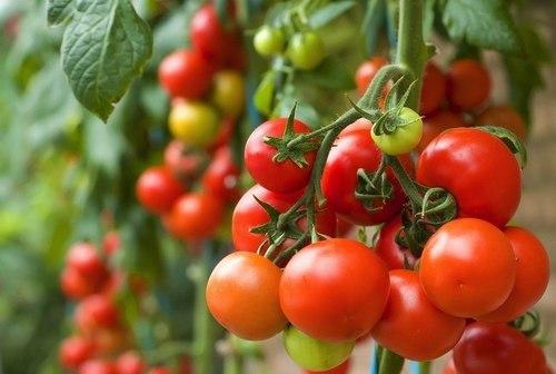 11 lý do nên ăn cà chua